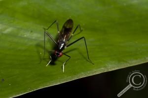 Ecuador Poecilotylus Micropezidae Fly