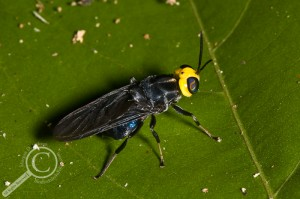 Cyphomyia sp. on a leaf in Amazonian Bolivia