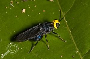 Cyphomyia sp. on a leaf in Amazonian Bolivia