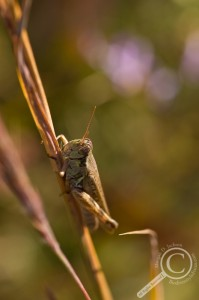 Acrididae grasshopper on dead grass stem with purple flowers behind