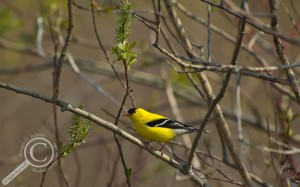 American Goldfinch at Long Point Provincial Park