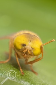 Tabanidae headshot comical