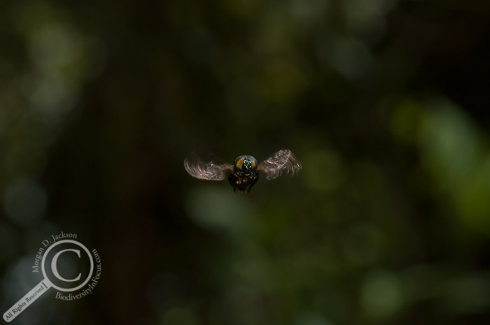 Onidia Syrphidae hoverfly hovering