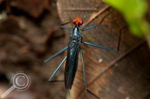 Unidentified Micropezidae fly stilt-legged