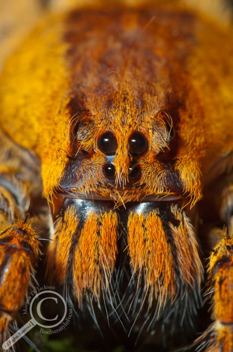 Costa Rican Wolf Spider Close Up
