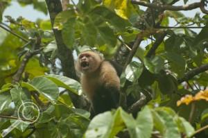 White-headed Capuchin (Cebus capucinus) Costa Rica