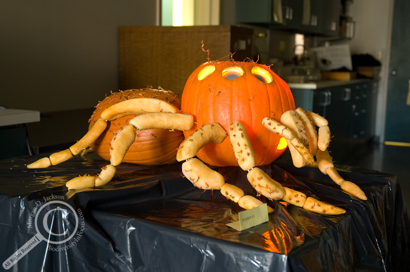 of jumping spider pumpkin insect