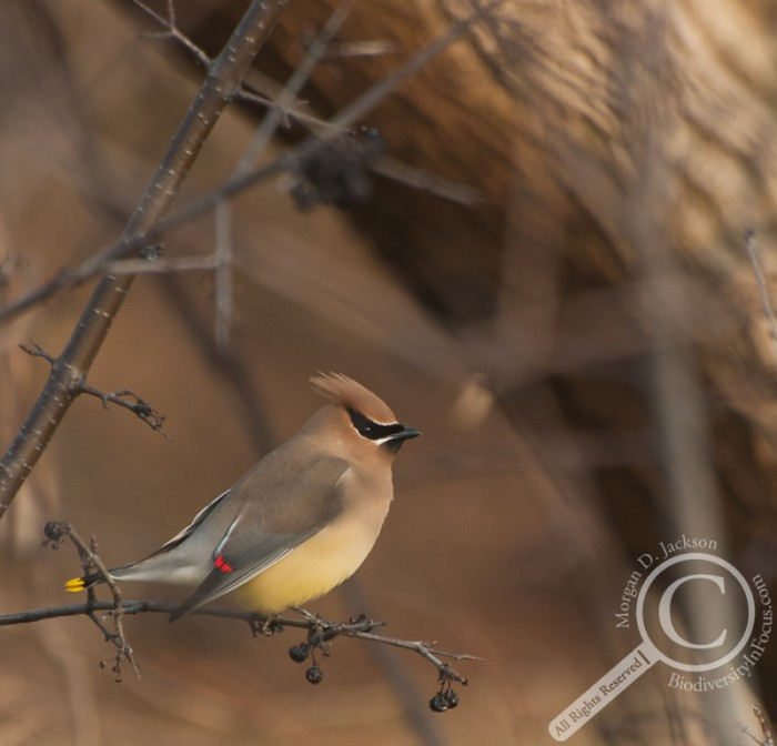 Cedar Waxwing in berry tree in Spring