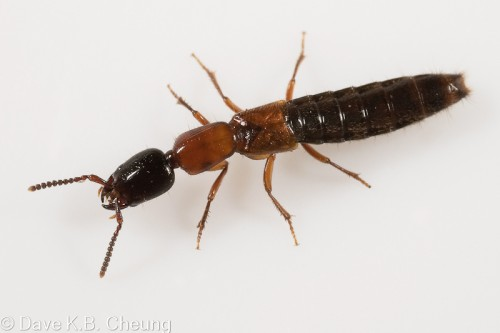 Xantholinus elegans by Dave Cheung Staphylinidae Insect Beetle