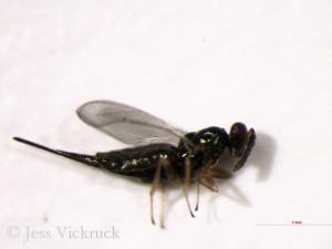 B. americana female