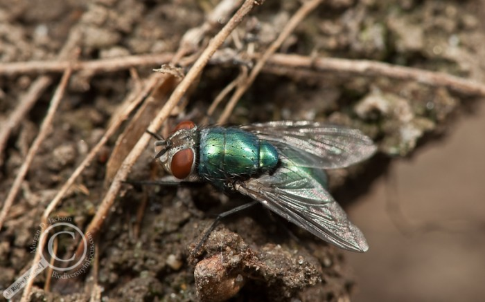 Lucilia sericata Calliphoridae Blow Fly Common Green Bottle Fly