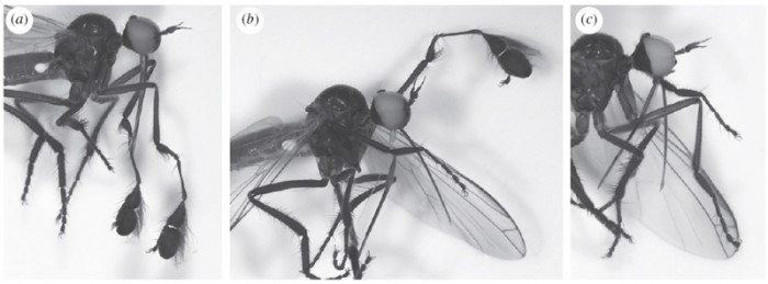 Empis jaschhoforum male morphs from Daugeron et al. 2011