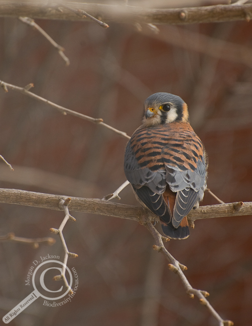 American Kestrel in tree with red brick background