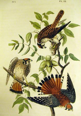 The American Sparrow Hawk - John James Audubon