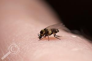 Black Fly - Simuliidae - Ecuador