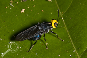 Cyphomyia sp. - Stratiomyidae - Bolivia