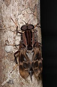 Pantophthalmus sp. - Pantophthalmidae - Ecuador