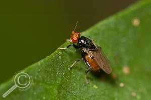 Sphaeroceridae - Costa Rica