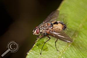 Tachinidae - Ecuador