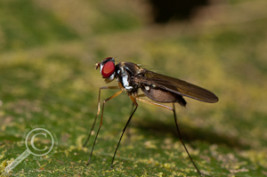 Tanypezidae - Ecuador