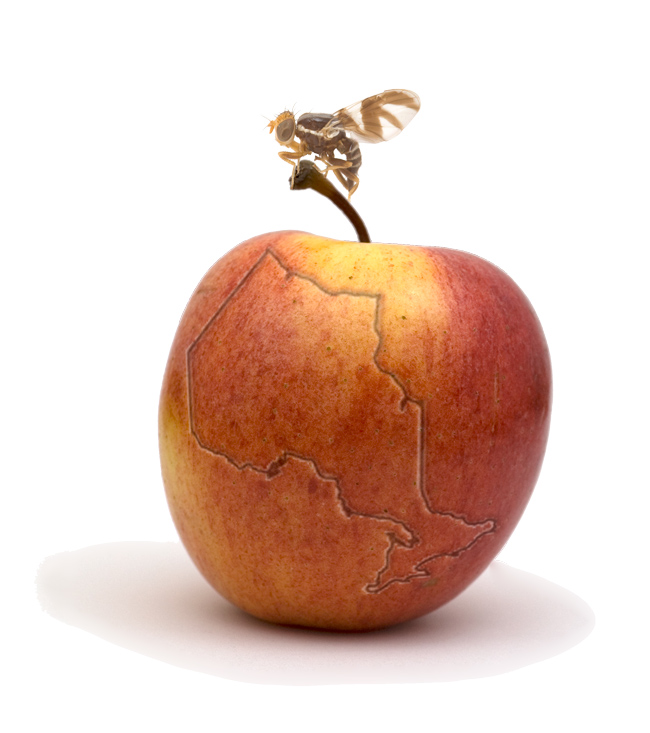 Apple maggot fruit fly on apple with map of Ontario inscribed in it