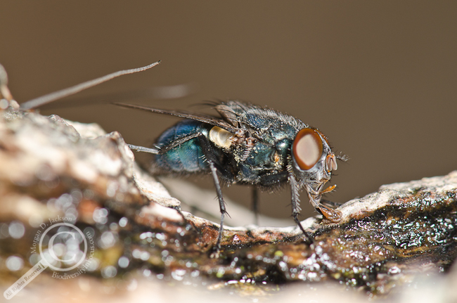 Blow fly Calliphoridae sponging up tree sap