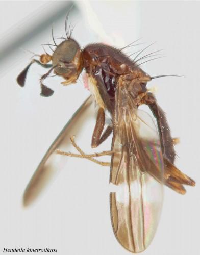Hendelia kinetrolikros - Lonsdale et al 2011