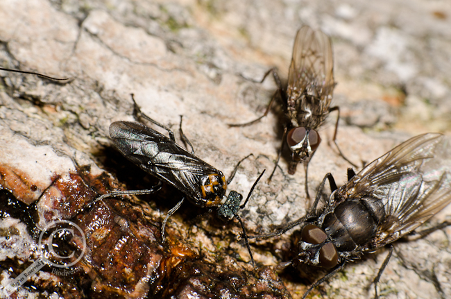 Tenthridinidae wasp eating tree sap with a calliphoridae and muscidae fly