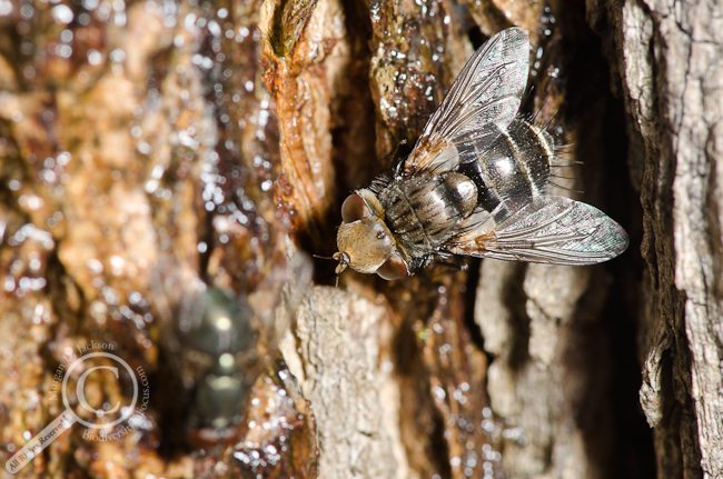 Tachinidae fly on tree drinking tree sap