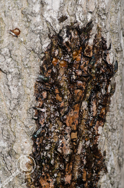 Tree weeping sap covered in insects