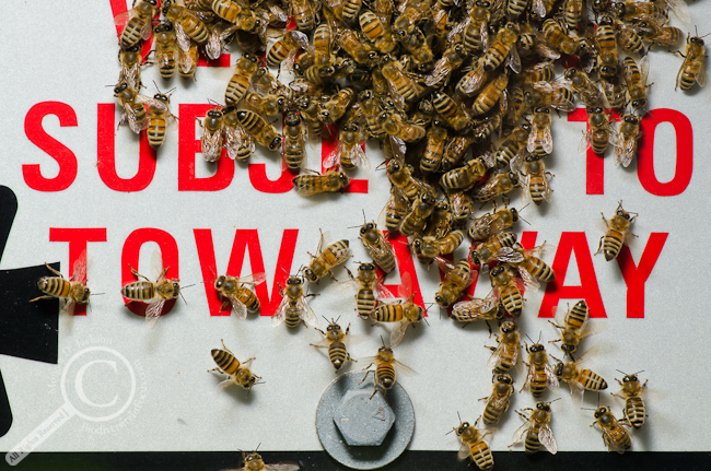 Honey bees on parking sign with text saying Subject to Tow Away