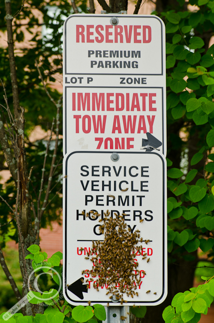 Honey Bee swarm on No Parking Sign