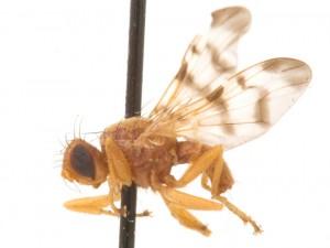 Rhagoletis meigenii Tephritidae