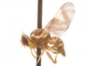 Rhagoletotrypeta rohweri Tephritidae