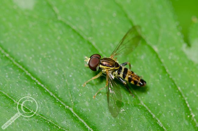 Toxomerus geminatus Syrphidae
