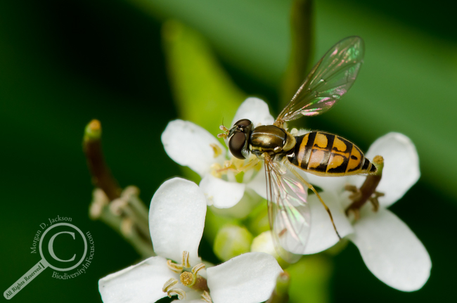 Toxomerus marginatus Syrphidae on flower