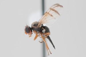 Urophora affinis Tephritidae