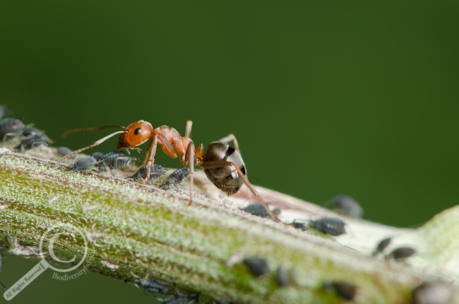 Camponotus ant tending aphids on a plant