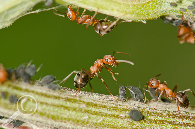 Camponotus ant seemingly dancing with the aphids it is tending