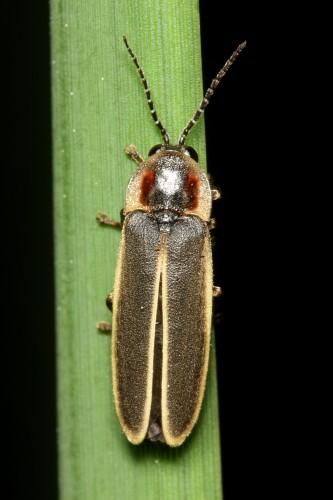 Lampyridae - Lampyrinae - Photinus obscurellus (m) - Stephen Luk Firefly