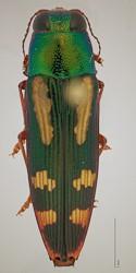 Buprestis rufipes Buprestidae Jewel Beetle