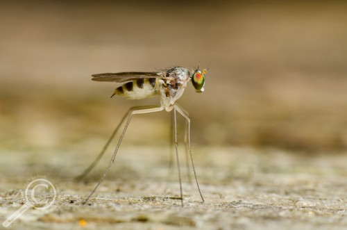 Long-legged fly (Dolichipodidae) from Ontario