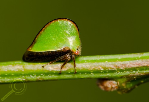 Treehopper (Membracidae) from Ontario