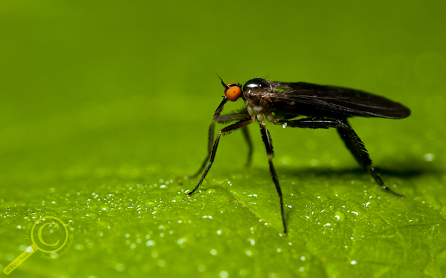 Dance fly (Empididae) from Ontario