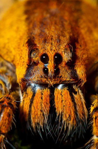 Wandering spider (Ctenidae) from Costa Rica