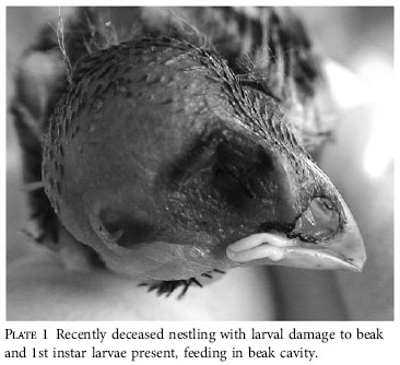 Philornis in bird beak O'Connor et al. 2010