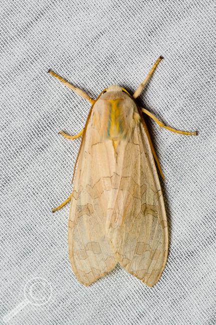 Banded Tussock Moth - Halysidota tessellaris
