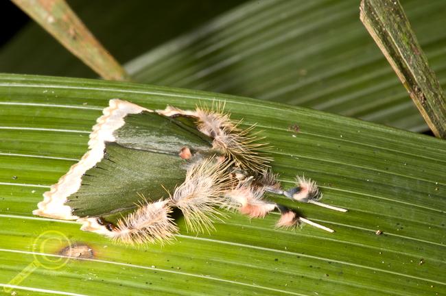 Green Tussock Moth - Bolivia
