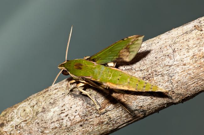 Sphinx Moth - Ecuador