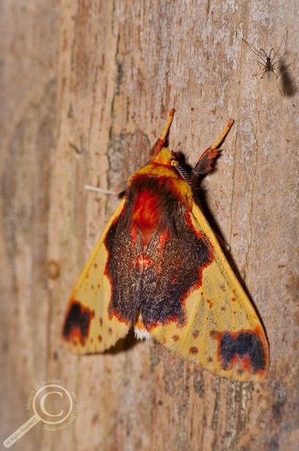 Tussock Moth - Ecuador